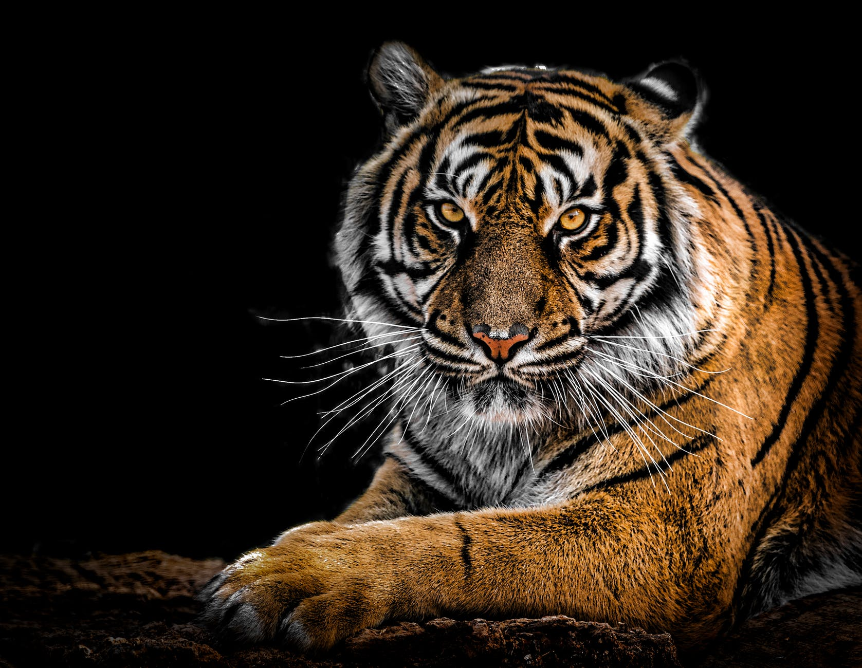close up photography of tiger